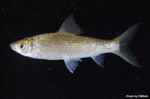 Henicorhynchus lobatus