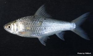 Henicorhynchus siamensis
